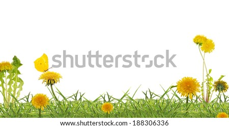 photo of yellow dandelions in green grass isolated on white background