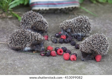 Photo of young hedgehogs near of scattered raspberry closeup - stock photo