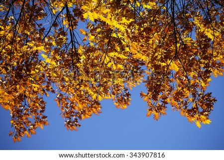 Photo reversed turned upside down of top branches of golden-leaved oak trees with beautiful sun-illuminated autumn yellow heavy foliage over bright blue sky background, horizontal picture