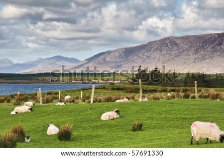 photo sheep on a farm field in remote connemara, west ireland - stock photo