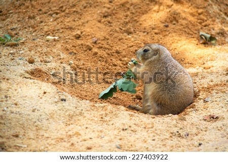 Photo shows a closeup of a black-tailed prairie dog in the nature. - stock photo