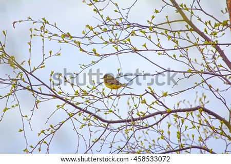 Photo spring mood. Bird on branch with fresh new leaves. Yellow wagtail (Motacilla flava) on verdant birch - stock photo