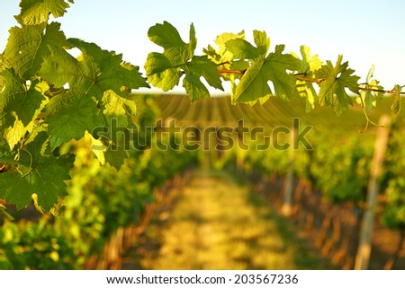Photo vine leaves in the background view on vineyard through the fresh leaves of trees - stock photo