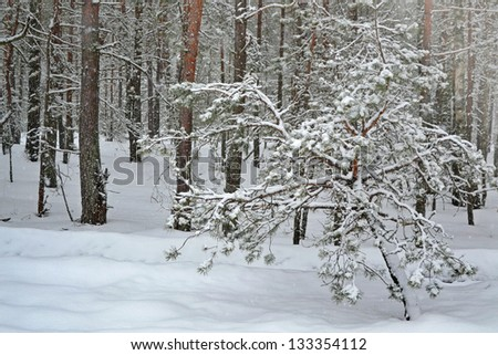 Photo winter forest. Snowfall.