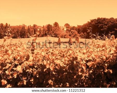 Photograph featuring a vineyard at Lindenderry (Red Hill, Mornington Peninsula, Australia). - stock photo