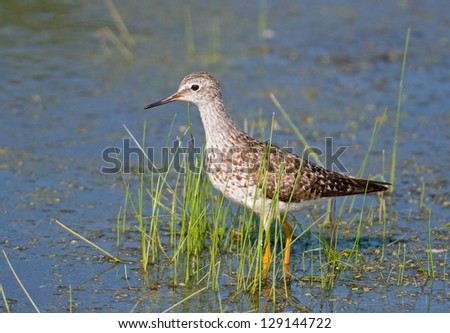 Photograph of a beautiful and stately Lesser Yellowlegs feeding in the shallow waters of a midwest marsh displaying their characteristic yellow legs and thin needle-like bill. - stock photo