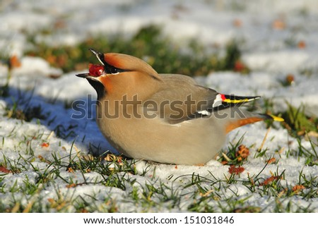 Photograph of a beautiful Bohemian Waxwing captured in a northern Wisconsin yard feeding heavily on some winter berries. - stock photo