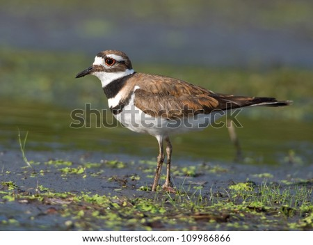 Photograph of a beautiful Killdeer, a type of sandpiper, feeding along a mudflat on a midwestern river. - stock photo