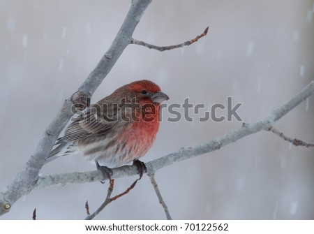 Photograph of a beautiful male House Finch, Carpodacus mexicanus, perched on a branch in a winter midwestern garden. - stock photo