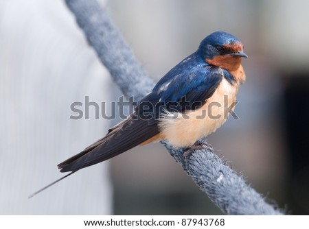 Photograph of a beautifully plumaged barn swallow perched on a rope along a boardwalk in a midwestern wildlife preserve. - stock photo