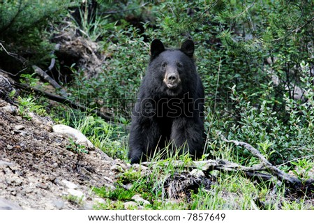 Photograph of a black bear taken in native habitat in the Rocky Mountains