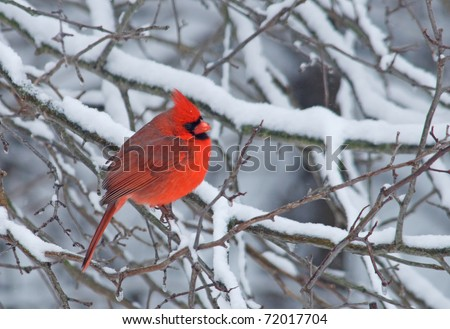 Photograph of a brilliant red male Northern Cardinal amidst midwestern winter branches covered with snow. - stock photo