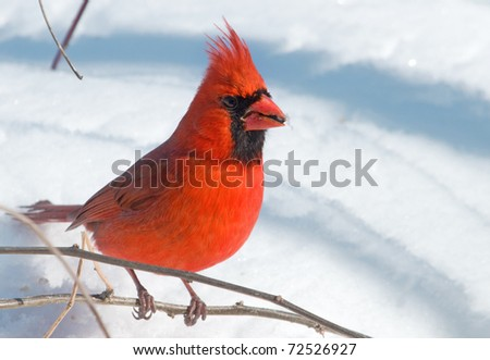 Photograph of a brilliantly colored  bright red Northern Cardinal, Cardinalis cardinalis, perched on a branch with a wintry snow covered background in a midwestern backyard. - stock photo