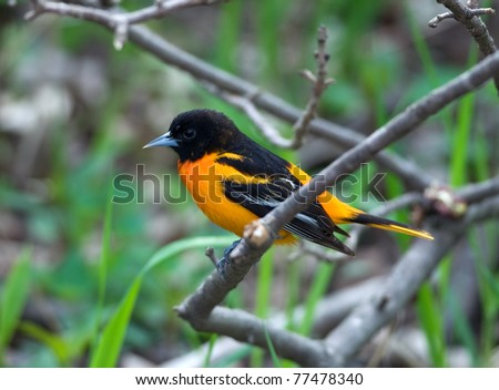 Photograph of a brilliantly colored male Baltimore Oriole perched on a branch in a spring midwestern forest. - stock photo