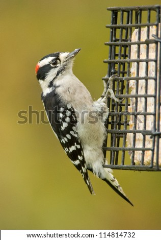Photograph of a cute black and white Downy Woodpecker in a midwestern garden grasping the side of a birdfeeder while eating suet cakes with a background of the green and golden colors of autumn. - stock photo