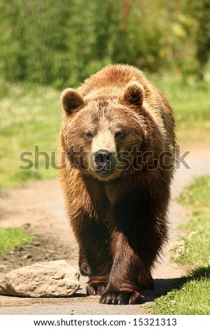 photograph of a european brown bear - stock photo