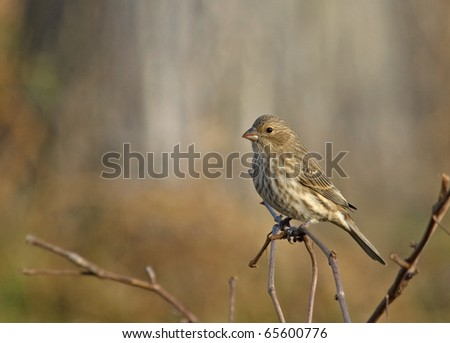 Photograph of a female House Finch, Carpodacus mexicanus, perched on a twig in late Autumn in a Wisconsin yard as it approaches a feeding station.