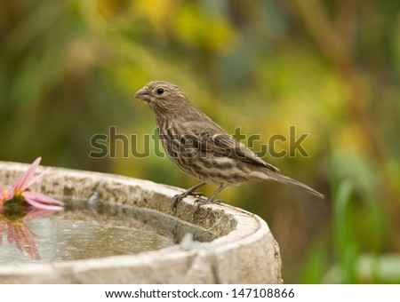 Photograph of a female House Finch perched on the edge of a bird bath in a midwestern autumn forest.