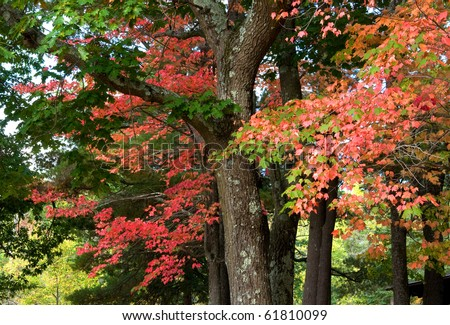 Photograph of a group of trees in an early autumn forest, with brilliant reds, oranges, golds and yellow popping out of the leaves in a mixed maple, oak, birch woodland in the northwoods of Wisconsin. - stock photo