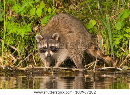 Photograph of a large and beautiful adult Raccoon hunting for food along a midwestern river in wonderful evening light. - stock photo