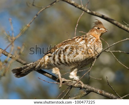 Photograph of a ruffed grouse perched on the branch of a tree in an early spring midwestern woodland.