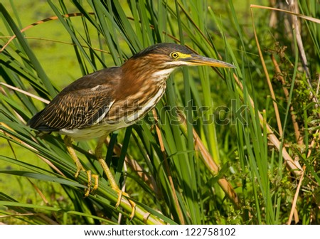 Photograph of a small and beautiful green heron clinging to wetland vegetation as it hunts for food in a midwest marsh. - stock photo