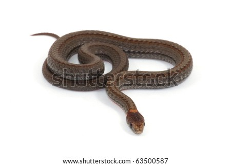 Photograph of a small Red-bellied Snake isolated against a white background.  The Red-bellied is a quite common small snake of the midwest, usually only 6 to 10 inches long. - stock photo