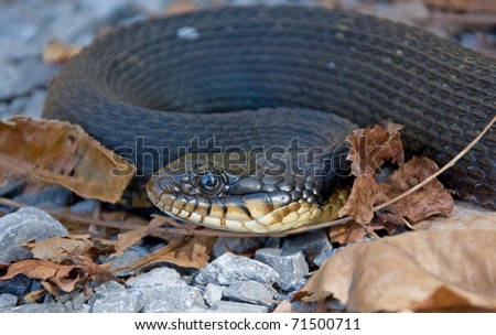 Photograph of a Yellowbelly Water Snake, Nerodia erythrogaster flavigaster, found crossing a road amidst some fallen leaves in the Shawnee National Forest.