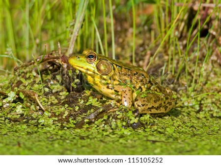 Photograph of an adult Green Frog sitting on the edge of a midwest wetland surrounded by emergent green vegetation. - stock photo