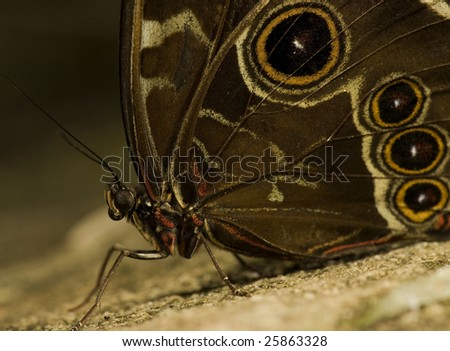 Photograph of an Owl butterfly, common from Mexico, through South America. Part of the Nymphalidae family. - stock photo