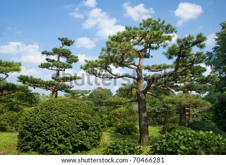 Photograph of several very interesting pruned pines in a summer midwestern garden. - stock photo