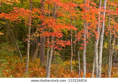 Photograph of the brilliant colors of a northwoods forest along a quiet rustic road in the midwest. - stock photo