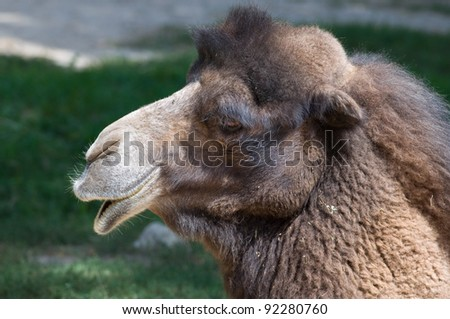 Photograph of the side profile of a camel head, shot in a Midwest zoo.
