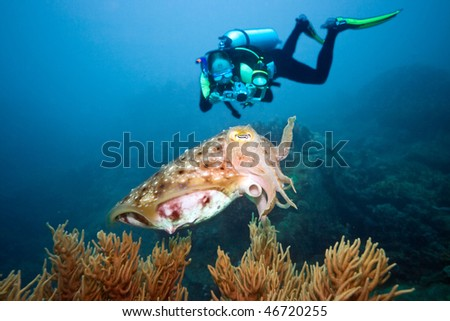 Photographer is making photo of cuttlefish underwater - stock photo