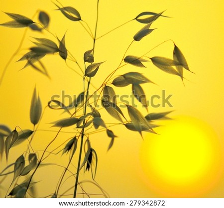 Photographic image with color effects and lighting of oats at sunrise - stock photo