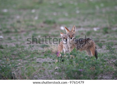 Photography of two small wild animals looking in camera. Tripod. Africa. - stock photo