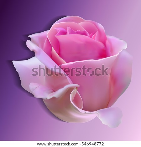 Photorealistic pink rose. Isolated flower on a white background.