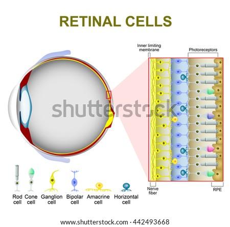 Eye Retina Diagram Cones Auto Electrical Wiring Diagram