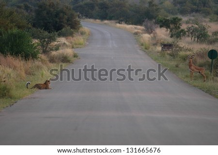 Photos of Africa, Leopard and Impala sides of road - stock photo