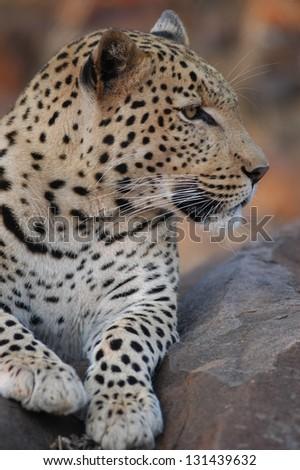 Photos of Africa, Leopard head shot - stock photo
