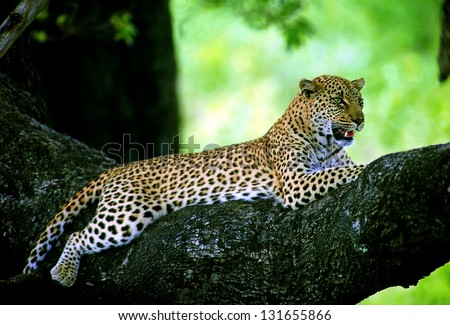 Photos of Africa, Leopard in big tree - stock photo