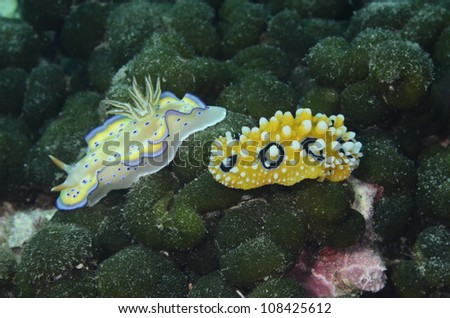 Phyllidia ocellata and Chromodoris kuniei - stock photo