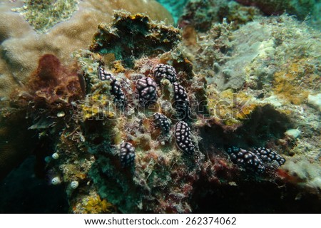 Phyllidiella pustulosa is a species of sea slug, a dorid nudibranch, a shell-less marine gastropod mollusk in the family Phyllidiidae. Malaysia, Mabul island, Selebes sea, - stock photo