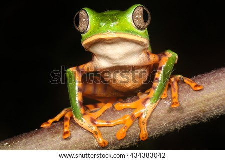 Phyllomedusa tomopterna, the barred leaf frog or tiger leg monkey tree frog is a species of frog in the Hylidae family. - stock photo