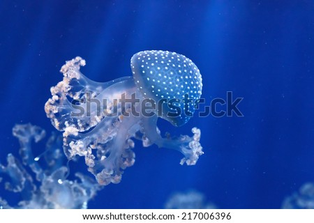 phyllorhiza punctata jellyfish floats in deep blue water - stock photo