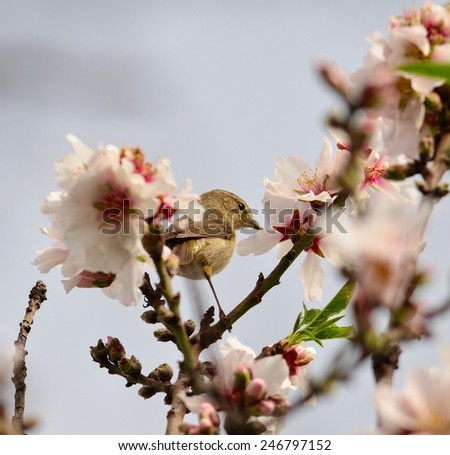 Phylloscopus canariensis between almond flowers - stock photo