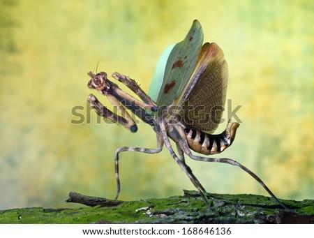 Phyllovates chlorphae mantis macro - stock photo