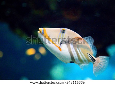 Picasso Triggerfish - stock photo