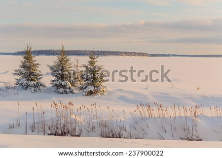 Picea glauca or white spruce trees along the frozen waterfront in rural Prince Edward Island, Canada. - stock photo