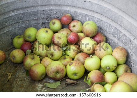 Picked Apples in Iron Bath. Wide. - stock photo